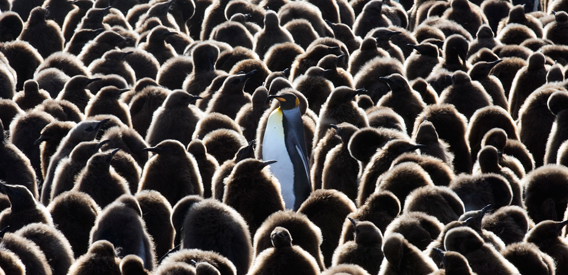 King penguins. Photo by: J. Weller.