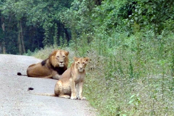 Lions in Harenna Forest. Photo by: John Mason.