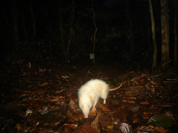 The little known moonrat (Echinosorex gymnura) photographed in Malaysian Borneo. Although it looks like a weird, white rat these animals are actually more closely related to hedgehogs. The moonrat is the only species in its genus, Echinosorex. Although imperiled by deforestation, it is currently listed as Least COncern by the IUCN Red List. Photo by: A.J. Hearn and J. Ross/BBC Wildlife Magazine.