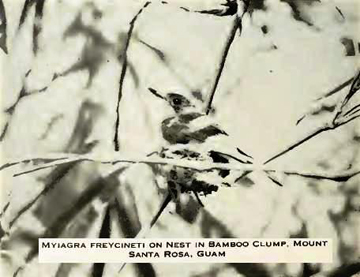 Photo of the now extinct Guam flycatcher. Photo by: Smithsonian.