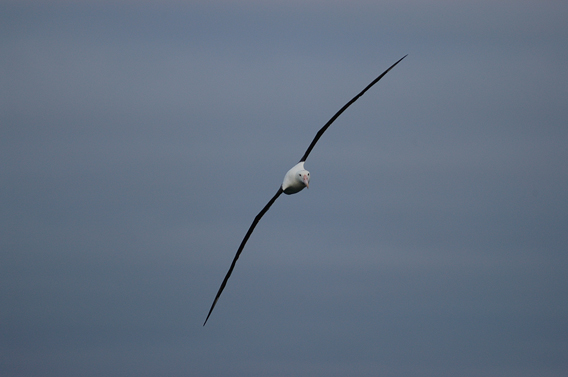 Northern royal albatross (Diomedea sanford) in flight. The species is considered Endangered. Photo by: Carl Safina.