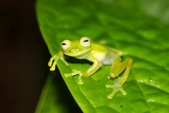 The Las Gralarias glass frog is the world's newest glass frog. It was discovered by Carl Hutter on the Reserva las Gralarias, after which the researcher subsequently named the new amphibian. Photo by: Jaime Garcia.