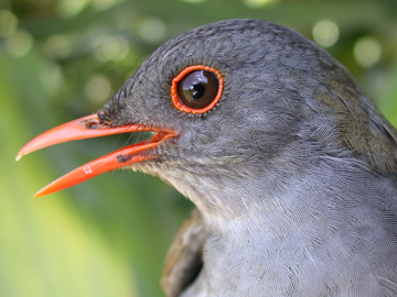 The orange-billed nightingale-thrush (Catharus aurantiirostris) is an insect-eating bird that lives on Costa Rican 'shade' coffee plantations. Photo by: Çağan Şekercioğlu.