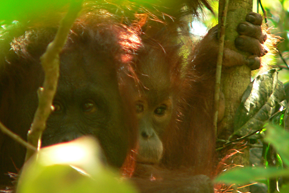 Imperiled orangutans near Sungai Wain Protection Forest. Photo courtesy of Stanislav Lhota.