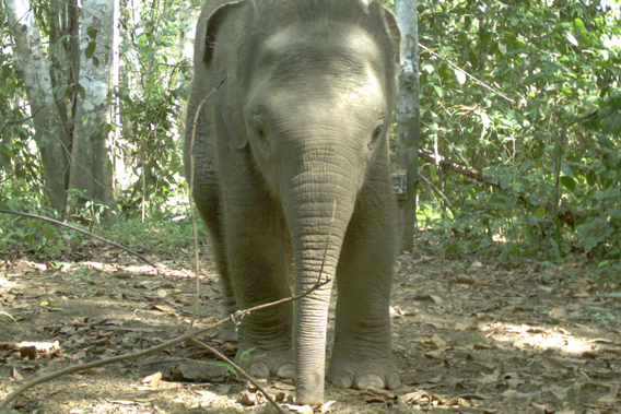 Bornean elephant take two. Photo by: Sabah Wildlife Department (SWD) and the Danau Girang Field Centre (DGFC).