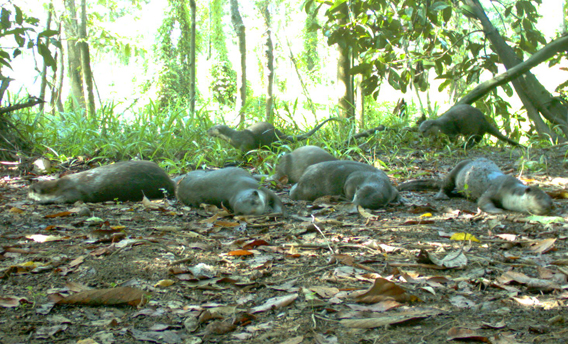 A romp of oriental small-clawed otters (Aonyx cinerea), Vulnerable. Photo by: Sabah Wildlife Department (SWD) and the Danau Girang Field Centre (DGFC).