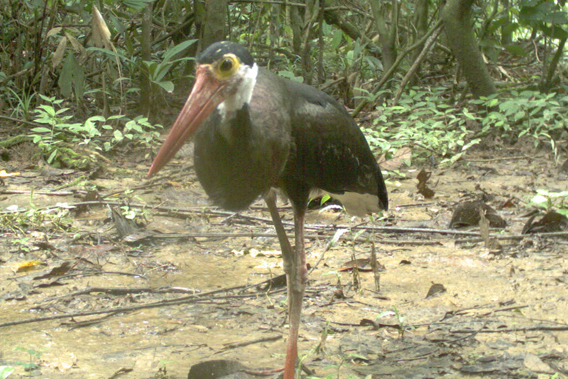 A storm's stork (Ciconia stormi), Endangered. Photo by: Sabah Wildlife Department (SWD) and the Danau Girang Field Centre (DGFC).