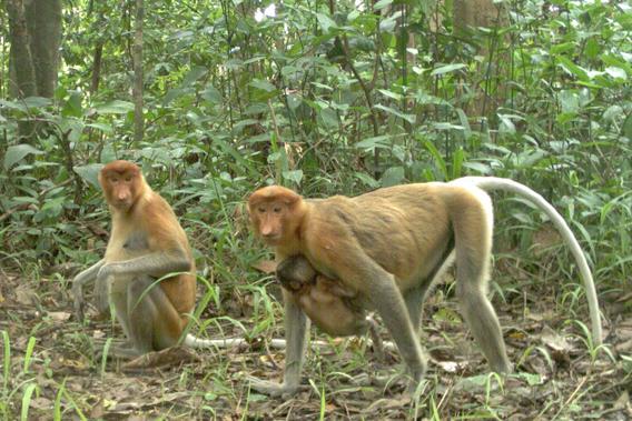 The proboscis monkey (Nasalis larvatus), Endangered. Photo by: Sabah Wildlife Department (SWD) and the Danau Girang Field Centre (DGFC).