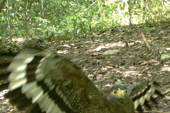 The crested serpent eagle (Spilornis cheela), Least Concern. Photo by: Sabah Wildlife Department (SWD) and the Danau Girang Field Centre (DGFC).
