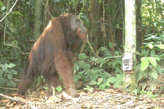 The Bornean orangutan (Pongo pygmaeus), Endangered. Photo by: Sabah Wildlife Department (SWD) and the Danau Girang Field Centre (DGFC).