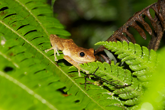 Pristimantis eugeniae, listed as Endangered by the IUCN Red List. Photo by: Jaime Garcia.