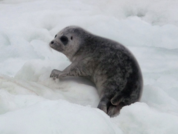 Ringed seal pup. Photo by: NOAA.