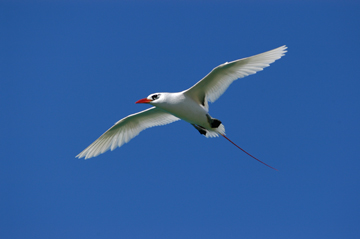 Red-tailed tropicbird (Phaethon rubricauda) is considered Least Concern. Photo by: Carl Safina.