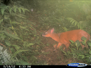 Dwarf red brocket deer in las Gralarias. This species is considered Vulnerable by the IUCN Red List. Photo courtesy of Jane Lyons.
