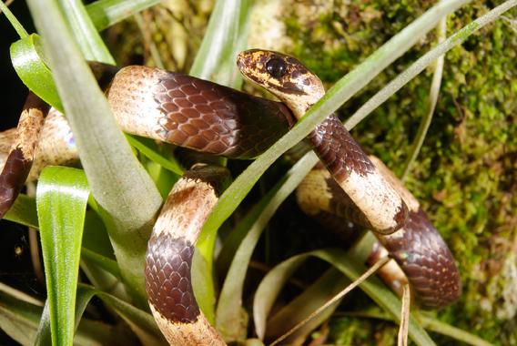 New snail-eating snake from Panama: Sibon noalamina. Non-venomous snail-eating snakes sport bright colors to mimic poisonous snakes as a defense. Photo © Sebastian Lotzkat.
