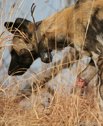 Snared wild dog. Photo by: Egil Droge/Zambian Carnivore Program. Courtesy of Panthera.