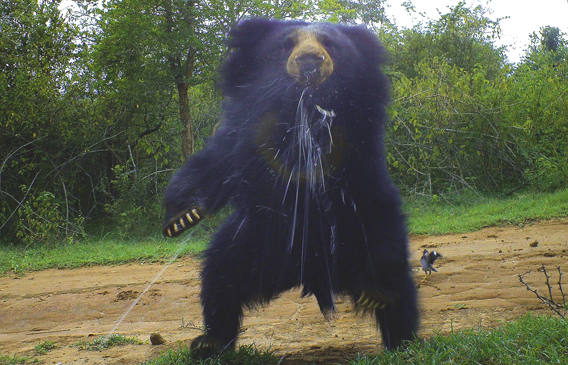 Spitting sloth bear (Melursus ursinus) in India. This species is considered Vulnerable by the IUCN Red List. Photo by: WWF-India/BBC Wildlife Magazine.