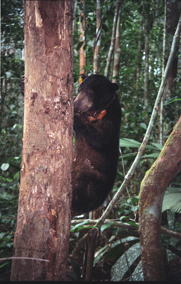 Sun bear (Helarctos malayanus) breaking into a bee's nest in Sungai Wain Protection Forest. This species is listed as Vulnerable by the IUCN Red List. Photo courtesy of Stanislav Lhota.
