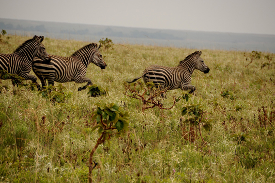 The Democratic Republic of Congo (DRC)'s last herd of zebra run free in Upemba. Photo courtesy of the FZS.