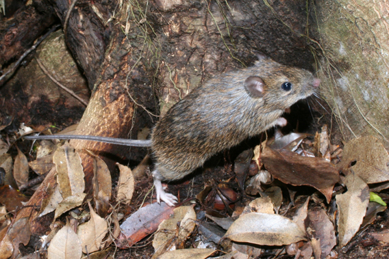 The Okinawa spiny rat (Tokudaia muenninki) is only found on the Japanese Island of Okinawa. Already, Japan has lost several of its endemic mammals. Photo by: Norihiro Kawauchi.