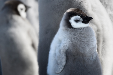 Emperor penguin chick. Photo by: J. Weller.