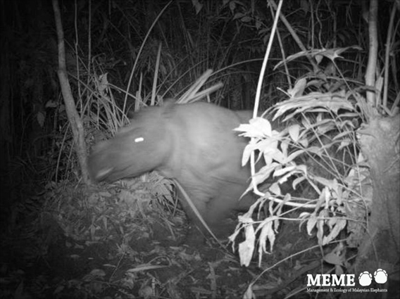 Sumatran rhino in Indonesia. A few individuals of Sumatran rhino may still persist on mainland Malaysia as well. Photo by: Deden Jaya Sutisna, Firmann Aldy, Kim McConkey, and Ahimsa Campos-Arceiz.