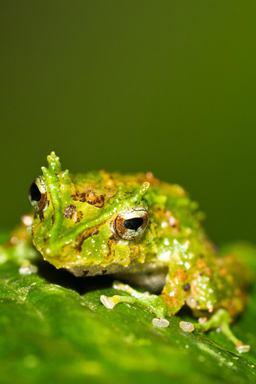 Pristimantis appendiculatus frog in las Gralarias. Photo by: Carl Hutter.