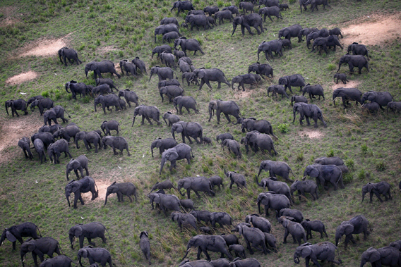 Large elephant herds still survive in Garamba, but for how long? Photo by: Nuria Ortega.