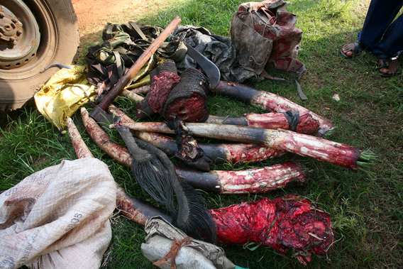 Confiscated elephant parts from poachers. Photo by: Nuria Ortega.
