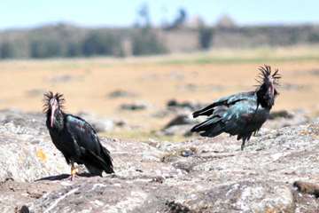 Two adult northern bald ibises photographed at their wintering site on the Ethiopian plateau in November 2008. Photo @ G. Serra.