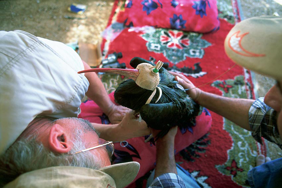 Lubomir Peske engaged in fitting a satellite tag to a northern bald ibis in Syria in spring 2006. Photo @ G. Serra