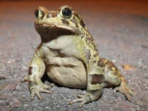 The Critically Endangered western leopard toad. Photo courtesy of: Hanniki Pieterse.