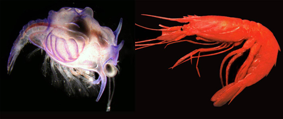 Larva (left) becomes shrimp (right). Photo courtesy of Bracken-Grissom et al.