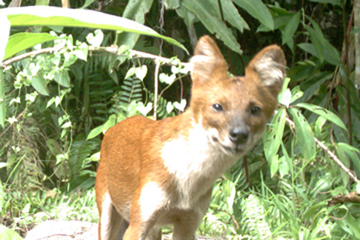 A dhole photographed on camera trap. This species is considered Endangered. Photo courtesy of Reuben Clements.