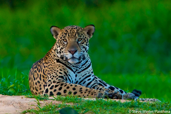 The Americas' biggest cat: the jaguar. Photo by: Steve Winter/Panthera.