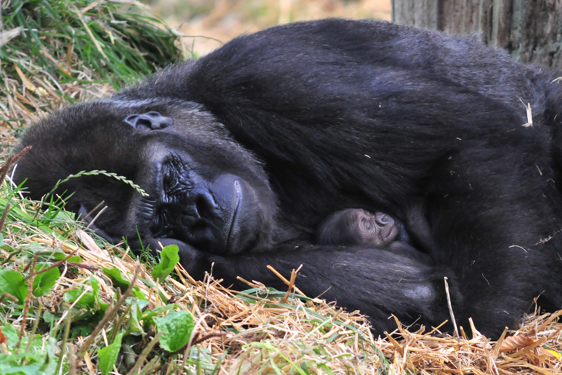 cute animal picture of the day new gorilla baby and mom