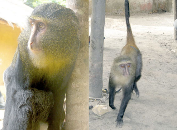 Left: adult male. Right: young female. Photo courtesy of Hart et al.