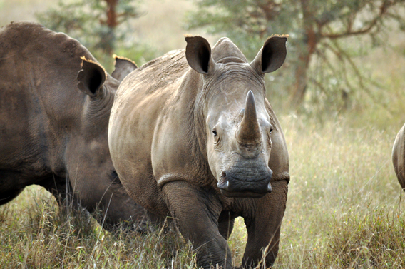 White rhino. Photo courtesy of the LWC.