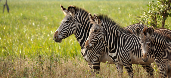 Grevy's zebra. Photo courtesy of the LWC.