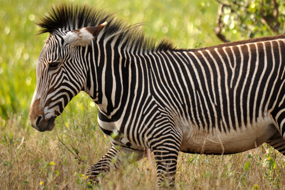 Grevy's zebra in LWC. Photo courtesy of LWC.