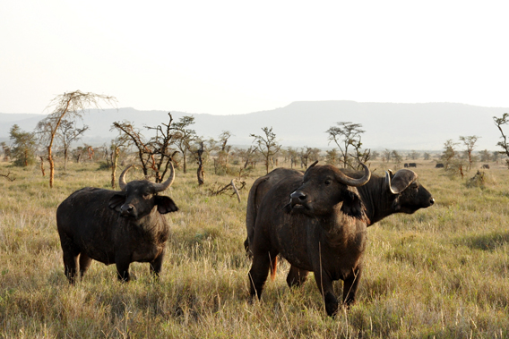 African buffalo in Lewa. Photo courtesy of the LWC.