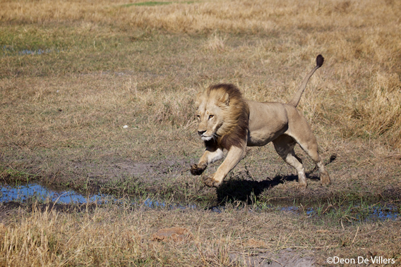 A maned lioness in Botswanna's Okavango Delta. Photo by Deon de Villers.