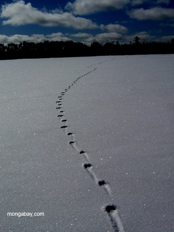 Wolf tracks on a frozen lake in northern Minnesota. Photo by: Tiffany Roufs.