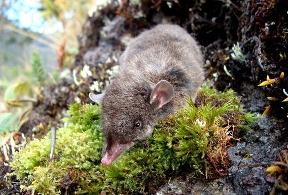Common shrew opossum (Caenolestes caniventer). This species is one of the three related to the new marsupial discovered in Tabaconas-Namballe National Sanctuary. Only the new species is a 'giant' compared to this one. Photo by: Kateryn Pino.