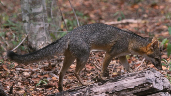 The possible new gray fox is similar to this specimen from Mexico (Urocyon cinereoargenteus). Either way Tabaconas-Namballe National Sanctuary is the furthest south a gray fox has been observed. Photo by: Gerardo Ceballos.