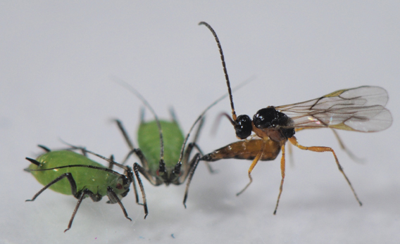 A parasitic wasp attacks an aphid in the first study to prove the theory that the extinction of one predator can lead to the extinction of another. Photo by: Dirk Sanders.