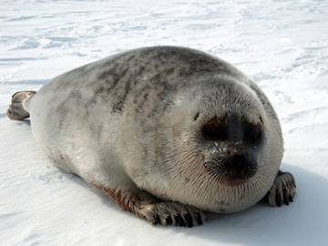 Ringed seal (Phoca hispida). Photo by: NOAA.
