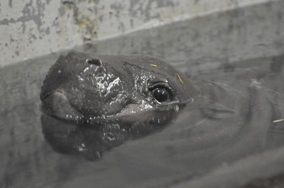 Georgina. Photo courtesy of ZSL Whipsnade Zoo.