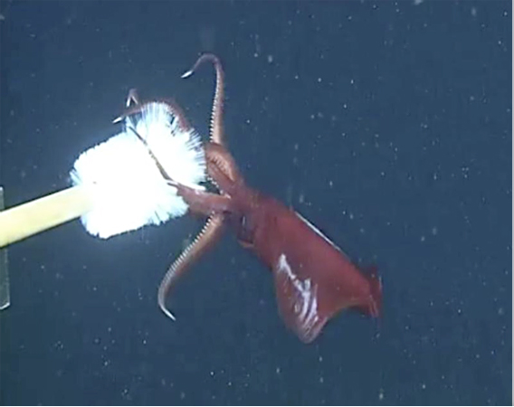Squid drops arms when tapped by a bottle brush. Photo by: Stephanie Bush, MBARI.
