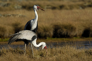 The wattled crane (Bugeranus carunculatus) is listed as Vulnerable. Photo by: Delphin Ruche.